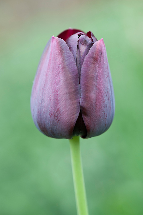 Tulipa 'Black Hero', mid April. A Double Late variety. A sport of 'Queen of Night'.