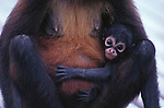 Black-handed spider monkey and baby, Panama
