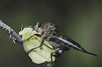Robber Fly (Asilidae), adult with butterfly prey, Starr County, Rio Grande Valley, Texas, USA