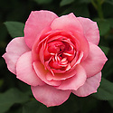 Rosa Channabelle ('Hartempter'), a floribunda with double dusky pink blooms that open wide on a compact dwarf plant. Introduced in 2013 by Harkness Roses.