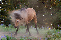 Chino, a buckskin male, dusts off to help ward of flies and probably just because it feels good!
