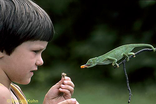 CH26-005z  African Chameleon - child holding insect, watching chameleon shoot out tongue - Chameleo senegalensis