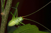 Katydid or 'Bush Cricket' nymph manuvering this plants 'stalk' near sundown. Katydids spend most of their time at the tops of trees where most of the leaves are, and are primarily nocturnal.