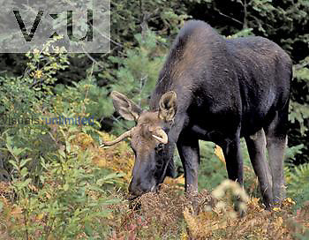 Bull Moose ,Alces alces, Ontario, Canada