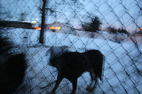 A dog is chained in a backyard throughout a snowy night in Enumclaw,Wash. December 23, 2008.(Karen Ducey/Seattle Post-Intelligencer)