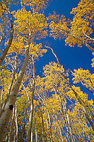 Hiking through the aspen trees during fall in Colorado, Rocky Mountain National Park.
