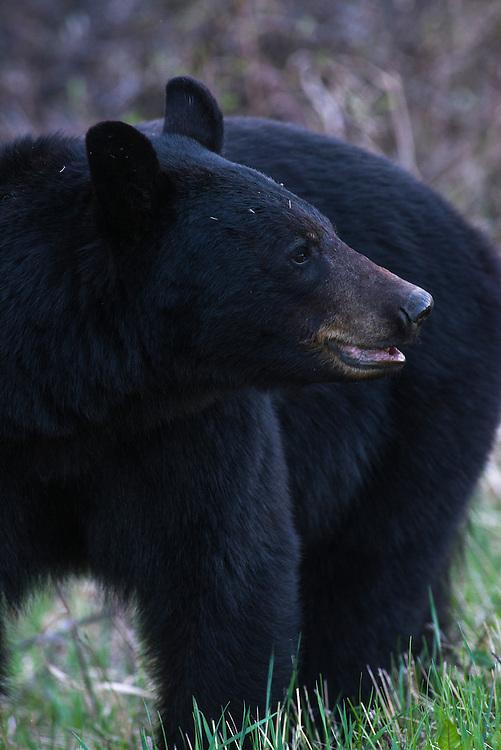 Black Bear Riding Mountain National Park, Manitoba, Canada