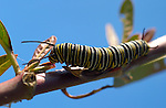 Monarch Caterpillar, Danaus plexippus, Southern California