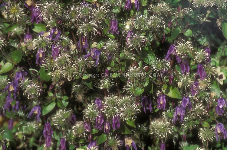 Clematis Integrifolia Seeds Clematis Integrifolia 39