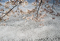 Cherry blossoms, branch, petals in water: 32x48 archival gicle&eacute; canvas edition of 6: $1500