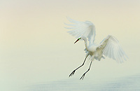 Great Egret braking to land ,Ardea alba, Southern USA.