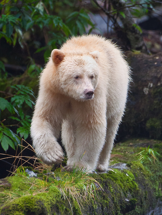 Spirit Bear walking down a moss-covered log