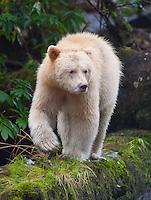 Spirit Bear walking down a moss-covered log