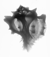 X-ray of a large pink murex (Murex brassica) shell.