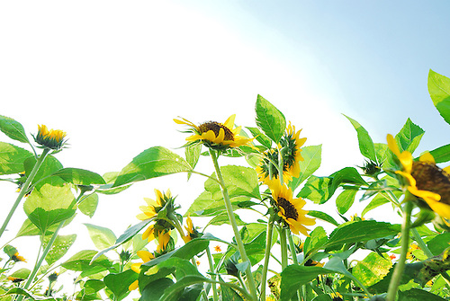 Field of happy sunflower under the clear and sunny blue sky