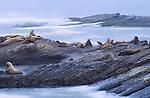 Stellar sea lions on Ano Nuevo Island