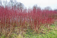 Cornus officinalis red stems in winter, red stemmed dogwood shrub with winter interest bark