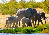 A herd of elephants approaches a watering hole, Etosha National Park, Namibia