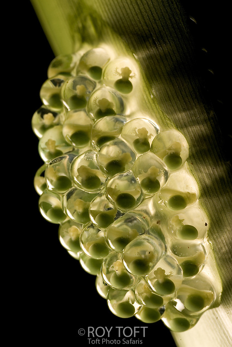 Red-eyed tree frog egg cluster on leaf, Costa Rica.