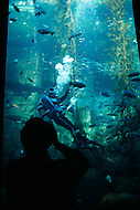 December 11, 1984 -Monterey Bay, California. A diver feeds the fish at the Monterey Bay Aquarium. The Monterey Bay Aquarium, located on Cannery Row of the Pacific Ocean in Monterey California, was founded in 1984 and holds thousands of plants and animals. The annual attendance of the aquarium is 1.8 million visitors.