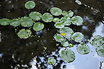 Water Lily pond at Clark Botanic Garden, a Town of North Hempstead park, in Albertson, NY 11507, on July 12, 2012