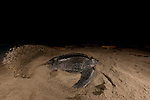 Leatherback turtle making her nest. Warmamedi, Jamursbamedi, Bird's Head Peninsula, West Papua Indonesia