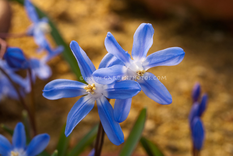 Chionodoxa sardensis, spring flowering bulb, lesser glory-of-the-snow