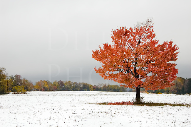 It's not often that snow falls with the fall foliage still on the trees, but it happened unexpectedly in Pennsylvania one night while I was away shooting further south in Virginia. I got a morning call from a friend saying about the new snow and how beautiful it was with the colored leaves, so I headed north almost immediately. It was a light, wet snow in higher temperatures near freezing, so it wasn't going to last long...I headed into the highest elevations I could reach quickly, which meant Somerset County, Pennsylvania.<br /> <br /> I spent the entire day in the area simply marveling at the beautiful world four inches of unexpected snow had created when mixed with the fall scenery. I always love how snow can change the world so dramatically, but sometimes using a camera was furthest from my mind because this particular snow was so captivating and beautiful.<br /> <br /> This lone maple tree in an open field offered some of the visual drama without forest clutter, and you can see broken limbs around the trunk due to the added weight of wet snow. I saw many broken limbs that day as nature removed the oldest and weakest of them from the trees.