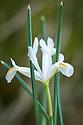 Iris reticulata 'Natascha', late February.