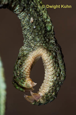 CH37-516z  Jackson's Chameleon or Three-horned Chameleon, Close-up of grasping foot used to climb trees, Chamaeleo jacksonii