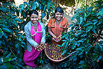 Panamanian Indian Coffee Pickers_San Marcos de Terrazu, Costa Rica