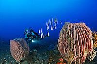 Centriscus scutatus und Xestospongia testudinaria, Rasiermesserfisch und Tonnenschwam mit Taucher, Scuba diver with school of Grooved Razorfish and Barrel sponge, Bali, Indonesien, Indopazifik, Bali, Indonesia Asien, Indo-Pacific Ocean, Asia