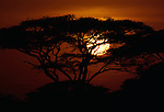 The setting sun lowers behind an acacia tree on a hill in Africa.