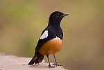 Mocking Cliff Chat, Thamnolaea cinnamomeiventris, male, Gondar, Ethiopia, castle grounds.Africa....