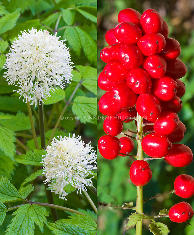 Actaea rubra in two phases, in flower and in berry fruits, composite picture