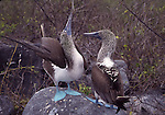 blue-footed boobies, courtship, sky-point