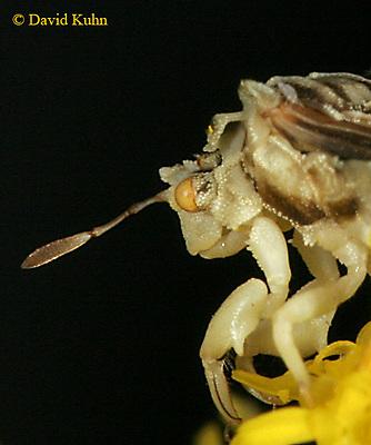 0904-06ss  Ambush bug - Phymata spp. Virginia - © David Kuhn/Dwight Kuhn Photography