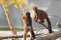 Les lemuriens font leur premiere sortie, zone Madagascar, new Parc Zoologique de Paris, or Zoo de Vincennes, (Zoological Gardens of Paris, also known as Vincennes Zoo), Museum National d'Histoire Naturelle (National Museum of Natural History), 12th arrondissement, Paris, France. Picture by Manuel Cohen