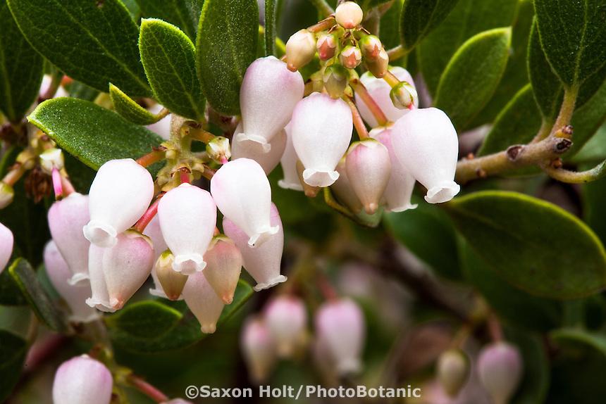White flower close-up of Franciscan Manzanita, Actostaphylos hookeri ssp. franciscana, evergreen drought tolerant shrub in spring California native plant