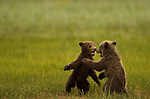 Brown bear cubs play, Lake Clark National park Alaska, June24th 2008. Photo by Gus Curtis