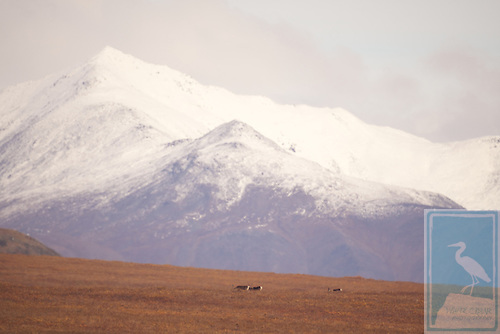Caribou in the meadow below snow-capped mountains