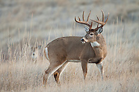 Whitetail deer (Odocoileus virginianus) a fine Montana whitetail buck during the rut