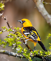 Altamira Oriole perched in tree, in profile