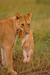 When the pride moves to a new location, the lioness picks up her cub by the scruff of its neck. The cub knows to go limp and the mother is then able to move her cubs one at time to the new location, Masai Mara National Reserve, Kenya.