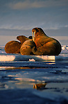 After feeding on invertebrates on the bottom of Alexander Fiord in the Canadian Arctic, Atlantic walrus climb out onto the ice to nap on Ellesmere Island, Canada.