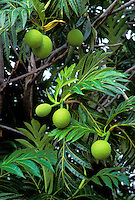 Breadfruit (ulu) tree with multiple fruit and leaves