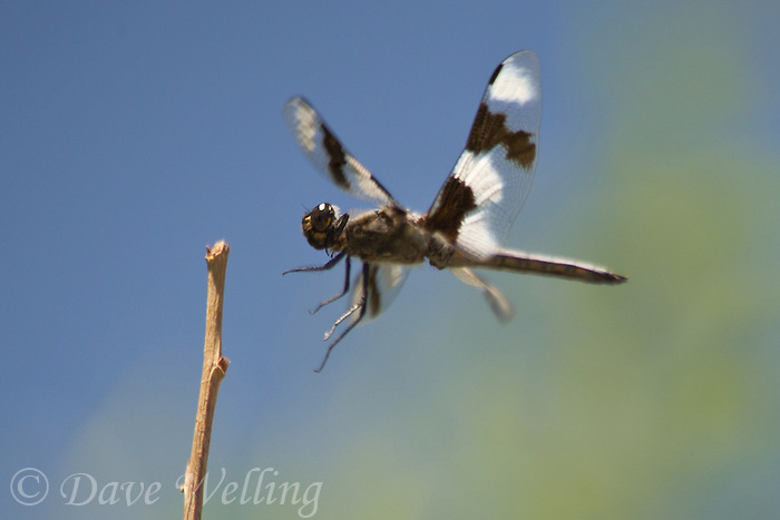 389340009 a wild male eight-spotted skimmer libellula forensis flies in for a landing on a dead twig at blackrock springs inyo county california