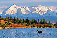 Cow moose feeds in Wonder lake, snow covered Alaska mountain range and Mt. Brooks, autumn tundra, Denali National Park, Alaska