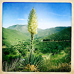 Yucca blooming after winter rains, and snows, bring on a riot of life in highlands above the Anza-Borrego Desert, California, USA.