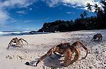 Robber or coconut crabs at Dolly Beach<br /> Birgus latro